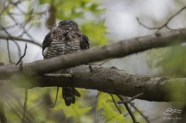 Common Nighthawk, Central Park 5/9/2017