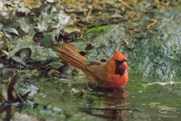Northern Cardinal, Central Park 5/10/2017