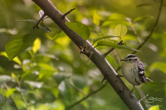 Black-and-White Warbler, Central Park 5/10/2017