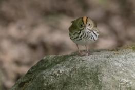 Ovenbird, Central Park 5/10/2017