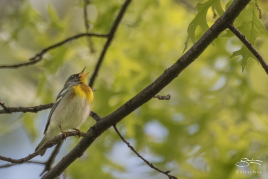 Northern Parula, Central Park 5/10/2017