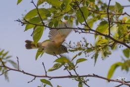 American Redstart, Central Park 5/10/2017
