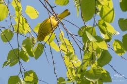 Yellow Warbler, Central Park 5/10/2017