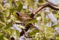 Common Yellowthroat, Central Park 5/10/2017