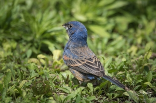 Blue Grosbeak, Battey Park 5/12/2017