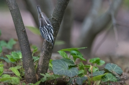 Black-and-White Warbler, Central Park 5/16/2017