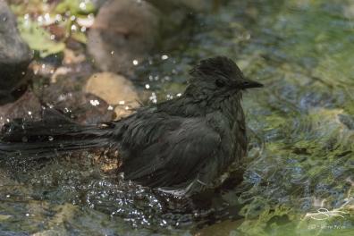 Grey Catbird, Central Park 5/16/2017