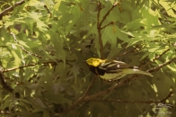 Black-throated Green Warbler, Central Park 5/16/2017