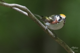 Chestnut-sided Warbler, Central Park 5/16/2017