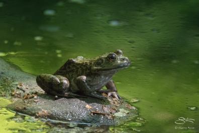 Bull Frog, Central Park 5/17/2017