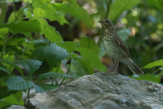 Grey-cheeked Thrush, Central Park 5/17/2017