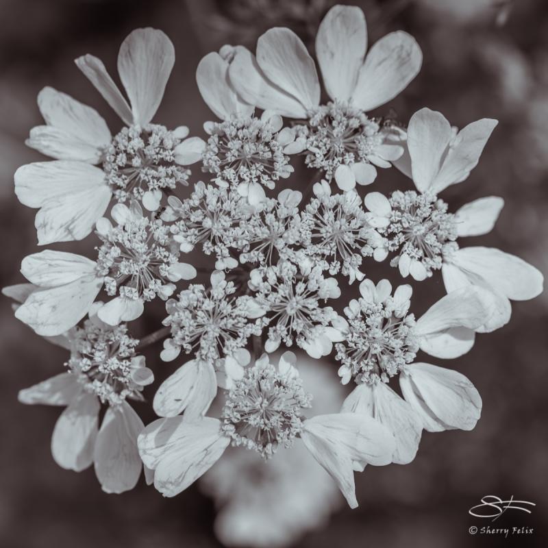 Oakleaf Hydrangea, NY Botanical Garden 6/21/2017