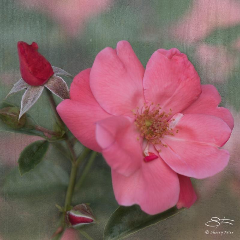 Pink Rose, NY Botanical Garden 6/21/2017