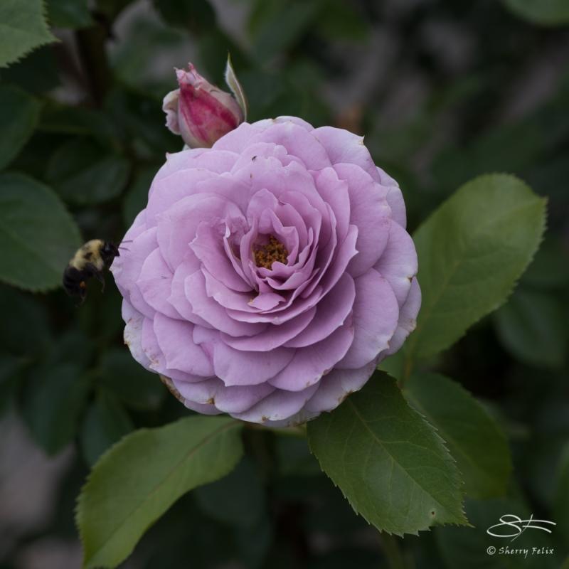 Lilac Rose, NY Botanical Garden 6/21/2017