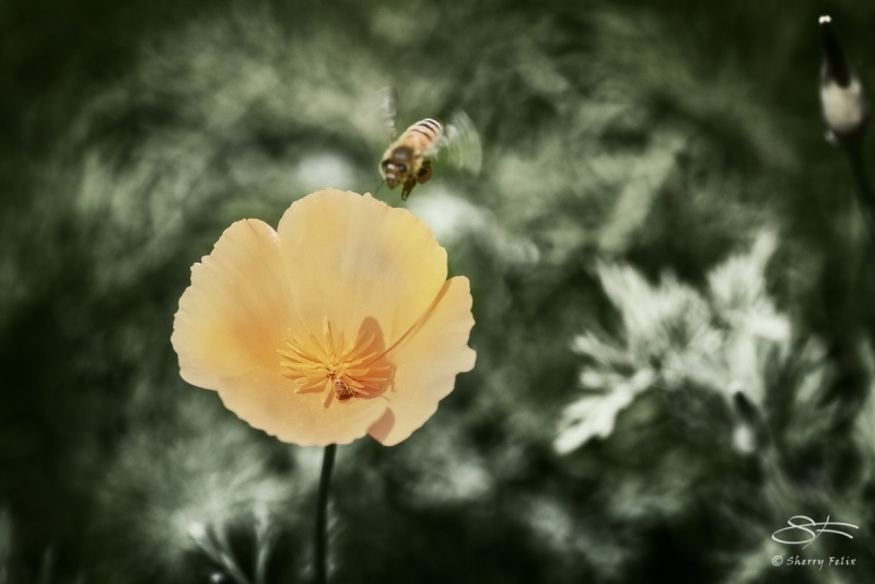 Bee and California Poppy, Governors Island 6/28/2017