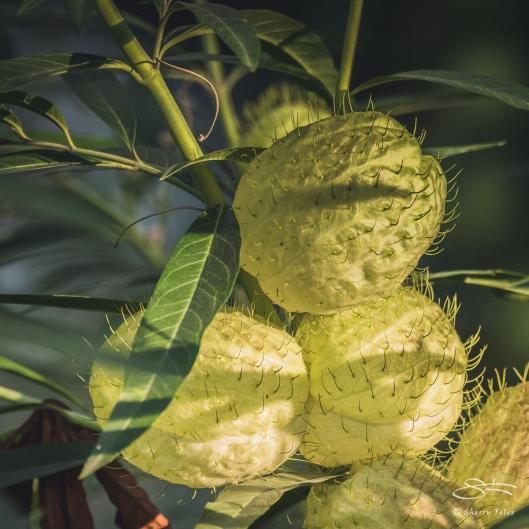 Balloonplant (Gomphocarpus physocarpus), Central Park 8/31/2017