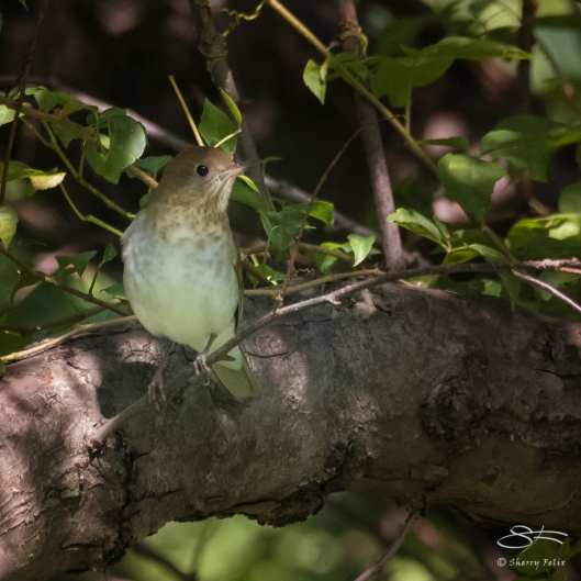 Veery (Catharus fuscescens), Central Park 8/31/2017