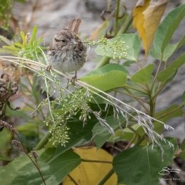 Song Sparrow (Melospiza melodia), Central Park 9/2/2017