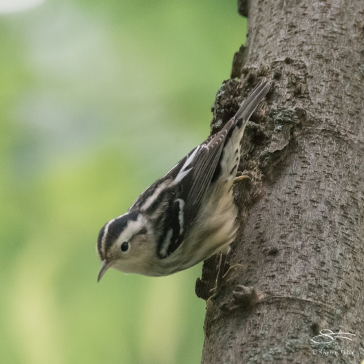 Black-and-White Warbler (Mniotilta varia), Central Park 9/2/2017