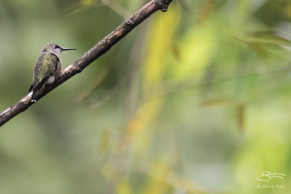 Ruby-throated Hummingbird, Central Park 9/17/2017