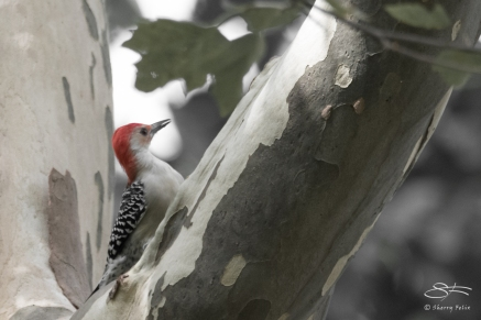 Red-bellied Woodpecker, Central Park 9/21/2017