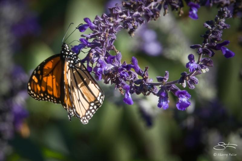 Monarch, Central Park 10/28/2017