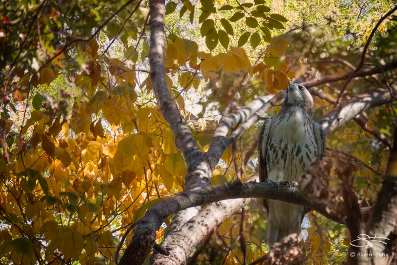 Red-tailed Hawk, Central Park 10/28/2017