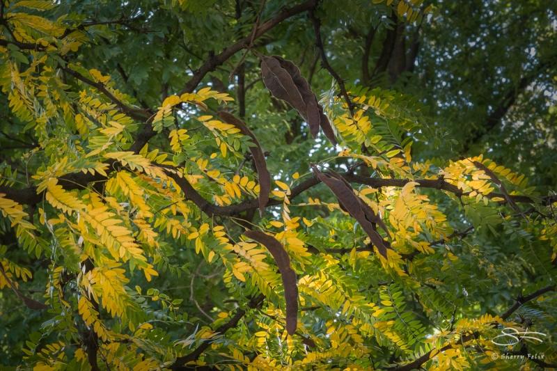 Locust, Central Park 10/28/2017