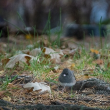 Dark-eyed Junco, Hudson River Park 11/4/2017