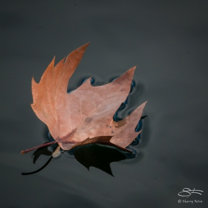 Leaf, Central Par 11/20/2017