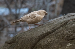 Leucistic Common Grackle, Central Park 1/19/2018