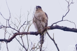 Sharp-shinned Hawk, Central Park 2/10/2018