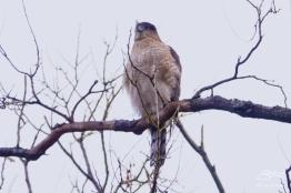 Sharp-shinned Hawk, Central Park 2/10/2018