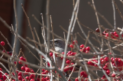 Northern Mockingbird, High Line 3/3/2018