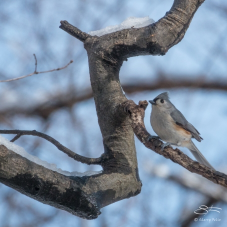 Tufted Titmouse, Central Park 3/8/2018
