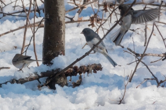 Dark-eyed Junco, Central Park 3/8/2018