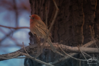 House Finch, Central Park 3/8/2018
