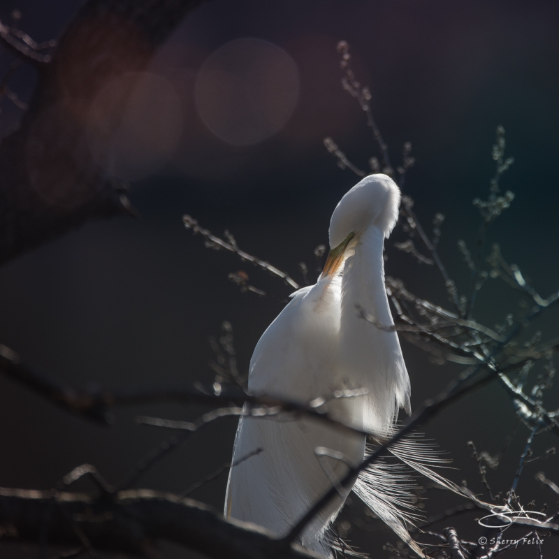 Great Egret, Central Park 3/31/2018