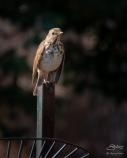 Hermit Thrush, Central Park 4/14/2018