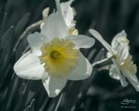 Daffodil, Central Park 4/14/2018