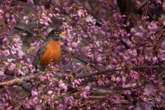American Robin, Central Park 4/14/2018