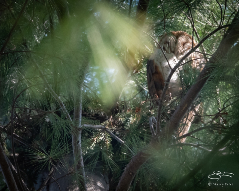 Barn Owl, Central Park 4/14/2018