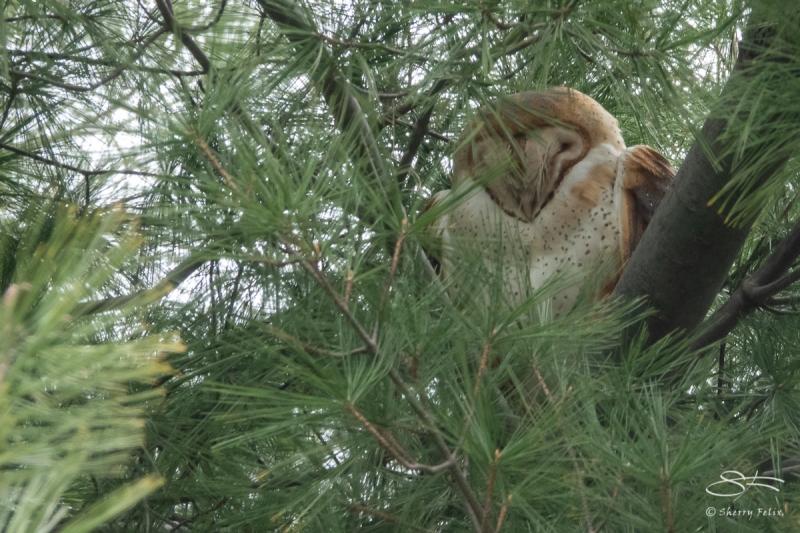 Barn Owl, Central Park 4/17/2018
