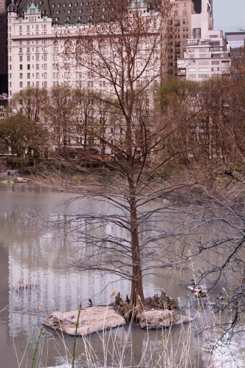 Bald Cypress, The Pond, Central Park 4/17/2018