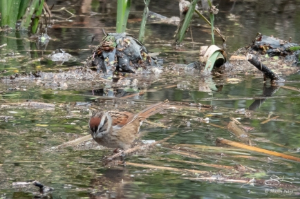 Swamp Sparrow, The Pond, Central Park 4/17/2018