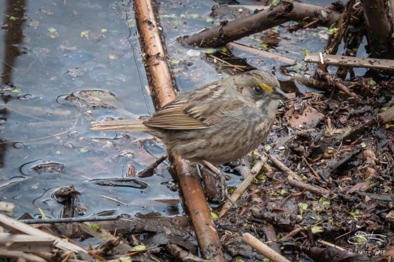 Seaside Sparrow, Central Park 4/17/2018