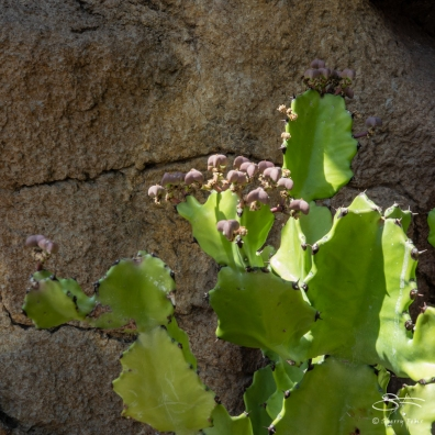 Euphorbia sp. Brooklyn Botanic 4/26/2018