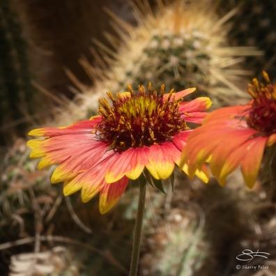 Desert Flower, Brooklyn Botanic 4/26/2018
