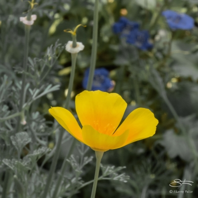 California Poppy (Eschscholzia californica), Brooklyn Botanic 4/