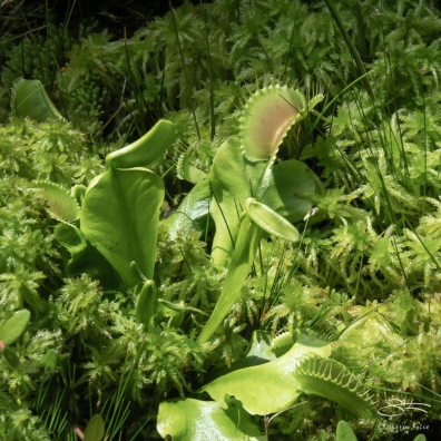 Venus Flytrap (Dionaea muscipula), Brooklyn Botanic 4/26/2018